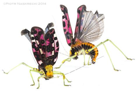 Postawa obronna Pardalota reimeri – te pasikonikowate żerują na bardzo toksycznych roślinach i prawdopodobnie ich ciała pełne są trujących alkaloidów.