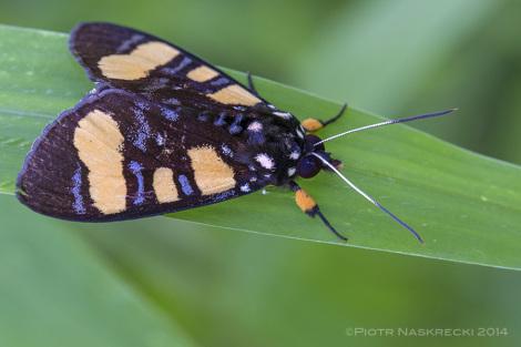 Niezidentyfikowany, ostrzegawczo ubarwiony motyl niedźwiedziówkowaty, znaleziony na tej samej roślinie co Pardalota.