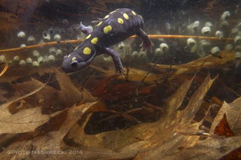 W północnowschodnich Stanach Zjednoczonych kilka gatunków salamandrowatych, jak ta ambystoma plamista (Ambystoma maculatum) z Westfield MA, dzielą sadzawki wiosenne z amerykańskimi dziwogłówkami wiosennymi.