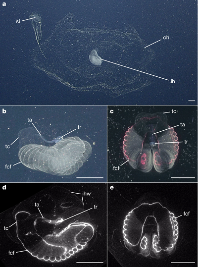 <br />(From Nature): a, Inner and outer house structures of the mucus feeding structure. b–e, White-light (b, c) andlaser-sheet (d, e) illumination of both the lateral (b, d) and dorsal (c, e) views of a midwater giant larvacean, B. stygius. fcf, food-concentrating filter; ih, inner house; ihw, internal house wall; oh, outer house; si, abandoned house or sinker; st, suspensory thread; ta, tail; tc, tail chamber; tr, trunk. Scale bars, 4 cm.