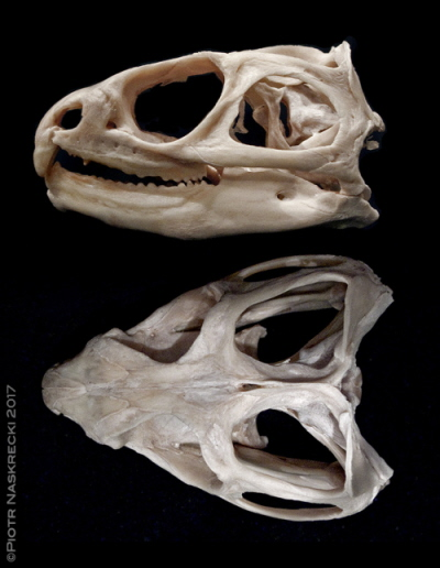 Najsilniejsza wskazówka starożytnego pochodzenia hatterii leży w budowie ich czaszki, która nadal ma dwie pary dużych otworów połączonych mocnymi, kościstymi łukami, a są to cechy dawno utracone przez współczesne gady (z wyjątkiem żółwi wodnych, których przodkowie w ogóle nigdy nie mieli tych otworów).