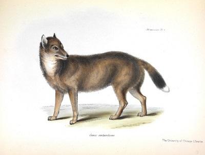Canis antarcticu<span>s, George Waterhouse, z</span>Zoology of the Beagle<span>. Rosnąca populacja ludzka i wynikające z tego zakłócenia oraz polowania doprowadziły do wytępienia falklandzkiego lisa pod koniec 1800 lat.</span>