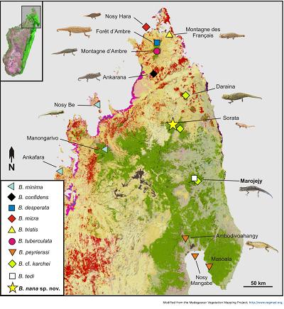 (Z artykułu): Mapa północnego Madagaskaru, pokazująca dystrybucję podrodzaju Evoluticauda (znanego jako grupaBrookesia minima) w tym regionie (pokazuje tylko zapisy zweryfikowane przez dane molekularne5,10,14). Proszę zauważyć, żeB. dentata, B. exarmataiB. ramanantsoaiwystępują dalej na południe i ta mapa ich nie obejmuje. Pomarańczowy (suchy las) i zielony (las deszczowy) pokazuje pozostałą roślinność w latach 2003–2006.