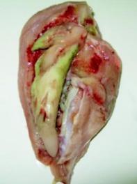 Niekiedy zmiany mogą rozwijać sie w obu mięśniach piersiowych;http://www.medycynawet.edu.pl/images/stories/pdf/pdf2009/072009/200907466471.pdf