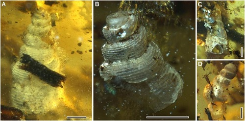 <span>(From Figure 4): Gastropods. (A) Mathilda sp. (B) Mathilda sp. (C) Undetermined specimen. (D) Undetermined specimen. (Scale bars, 1 mm.)</span>