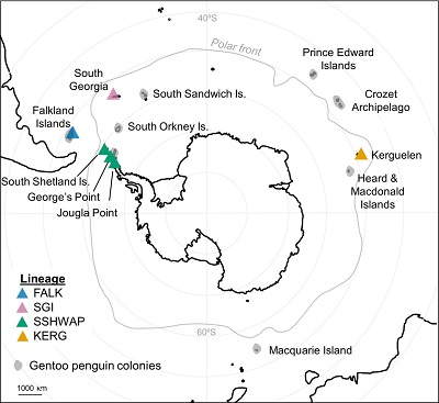 (From paper): Geographic range of gentoo penguins. Gray zones show existing gentoo penguin colonies while colored triangles show populations included in this study. FALK, Falklands; SGI, South Georgia Island; SSHWAP, South Shetland Islands & Western Antarctic Peninsula; and KERG, Kerguelen