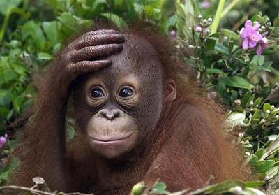 Ile jest gatunków orangutanów?