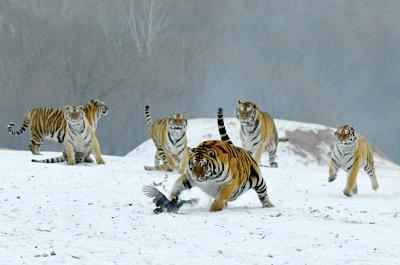 """(Z """"New York Times""""): Tygrysy w parku w Hailin w północnowschodnich Chinach. Sto lat temu około 100 tysięcy tygrysów wędrowało po Azji. W stanie dzikim na całym świecie pozostało ich 4 tysiące. Zdjęcie: Visual China Group/Getty Images"""