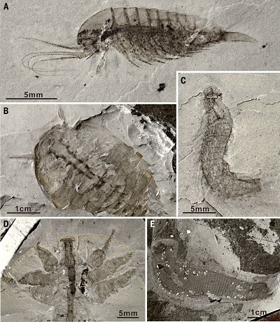 <span>Fig. 3 (from paper): Ecdysozoans of the Qingjiang biota. (A) Leanchoilia sp., showing fine anatomical details, including those of the great appendages. (B) New megacherian preserved with internal soft tissues. (C) A possible kinorhynch scalidophoran, with segmented body armored by scalids. (D) Lobopodian. (E) Priapulid worm.</span>