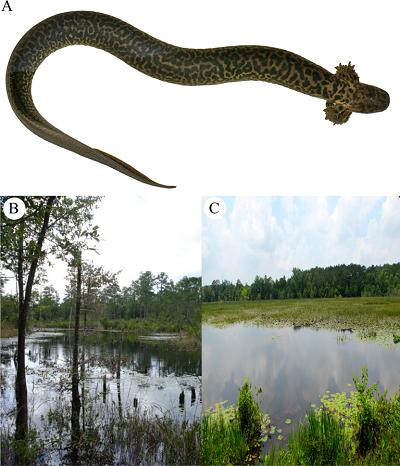 (Z artykułu): A)Siren reticulataokaz paratypu schwytany w Okaloosa County na Florydzie Florida. (B) LokalizacjaSiren reticulataschwytanej w 2009 r. przez D. Steena i M. Baragona. (C) Typ środowiskaSiren reticulata, Walton County, Floryda.