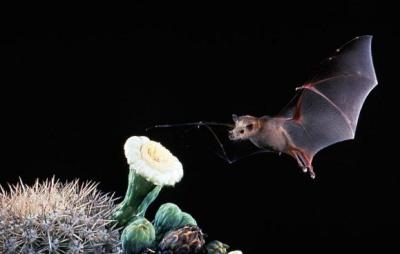 Proszę zauważyć, że nietoperz unosi się w powietrzu podczas żerowania: