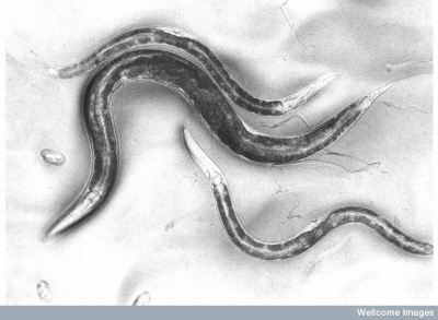 Dorosłe C. elegans; The Sanger Institute, Wellcome Images; CC-BY-NC-ND 4.0