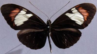 H. heurippa (gatunek hybrydowy)
