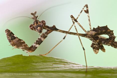 Młode gatunku Sibylla wyglądają bardzo patykowato i znajdują się na ogół na liściach lub czubkach cienkich gałązek.