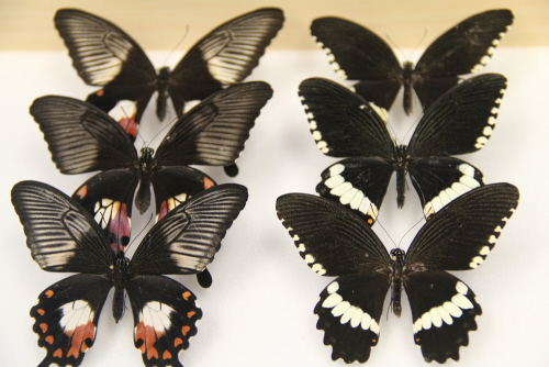 Różne wzory Papilio polytes. Credit: Wei Zhang