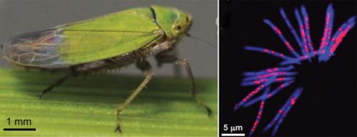 <br /> Po lewej stronie: Zielony skoczek ryżowy, (Nephotettix cincticeps), po prawej DNA plemników (kolor niebieski) i Rickettsia (czerwony). Zdjęcie: Watanabe et al, 2014