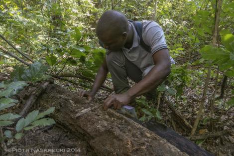 Mój pomocnik Ricardo Guta szuka owadów i innych zwierząt w habitacie amfisben w Gorongosa.