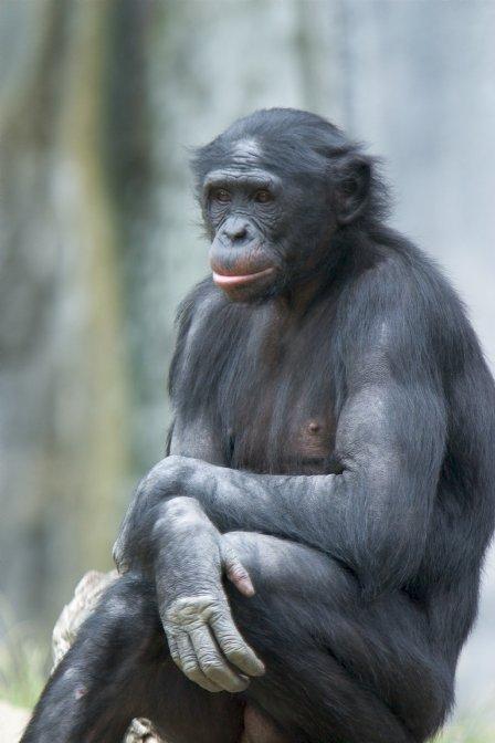 Pan paniscus, zwany również bonobo