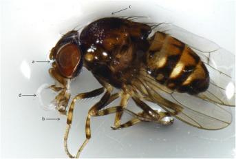 Muszka Phortica variegata z (d) inwazyjną larwą Thelazia callipaeda; CC BY 4.0,https://www.ncbi.nlm.nih.gov/pmc/articles/PMC5859453/