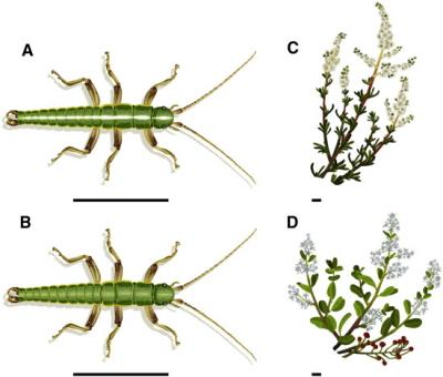 Patyczaki z paskami (A) znajduje się często na krzakach o wąskich liściach. Solidnie zielone znajduje się często na krzakach z szerokimi liśćmi. Z Farkas et al 2013, Current Biology. Ilustracja: Rosa Ribas