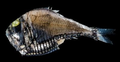 Topornik (Argyropelecus). Zdjęcie: Leo Smith