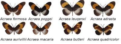 Źródło: MimeticButterflies.org</a>
