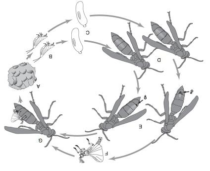 Ilustracja cyklu życiowego Xenos peckii: (A) gniazdo os Polistes fuscatus zostaje zainfekowane (B) X. peckii na pierwszym stadium rozwojowym, aktywnie szukającym i wkręcającym się w (C) larwę osy-gospodarza, gdzie linieje w bezkończynowe, drugie stadium i rozwija się przez trzy kolejne linienia wewnątrz larwy osy-gospodarza; (D) dorosła osa z larwą X. peckii ukrytą w jej odwłoku; (E) po czwartym linieniu samce i samice wysuwają się częściowo z odwłoka swojego osiego gospodarza; (E, po lewej) wysunięta struktura samca twardnieje i tworzy tarczkę puparium; (E, po prawej) wysunięta struktura samicy twardnieje i tworzy głowotułów, dając neoteniczną dorosłą samicę; (F–G) po 10 do 15 dni okresu poczwarkowego uskrzydlony samiec (F) wyłania się, znajduje podatną samicę (G) i kopuluje z nią. Uwaga: rysunki nie zachowują skali; rysunek pierwszego stadium larwy zaadaptowany z SEM w Osswald i in. (2010). Z Hrabar i in. (2014)