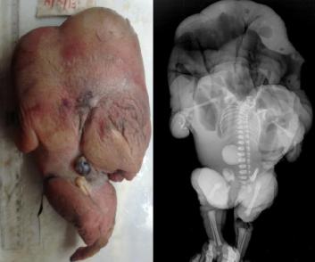 Bezgłowy bezsercowiec, widać słabo wykształcone ręce; CC BY 2.5, http://cogprints.org/9163/1/2013-2-15.pdf