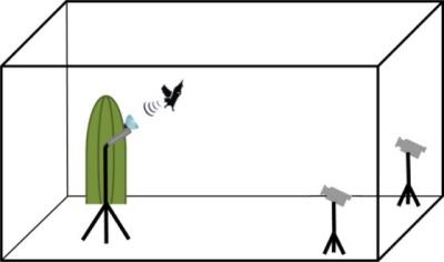 (Z artykułu): Organizacja eksperymentu z obydwoma celami. Pracowaliśmy po kolei z każdym celem, a każdy przyczepiony był do kaktusa. Lot i zachowanie echolokacyjne nagrywaliśmy mikrofonem ultradźwiękowym i dwiema zsynchronizowanymi kamerami, wspieranymi przez światło stroboskopowe. Wymiary klatki (4m x 4m x 3m).
