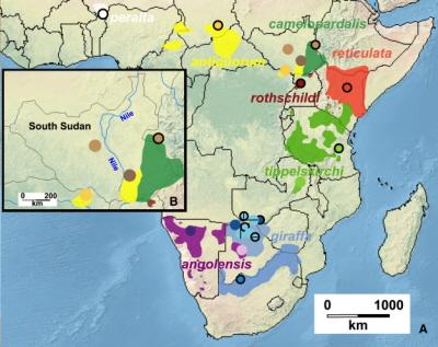(Z artykułu): Ilustracja 1 Dystrybucja i miejsce pobierania próbek różnych podgatunków żyrafy w Afryce (A) Zasięg dystrybucji (cieniowane kolory) dostarczone przez Giraffe Conservation Foundation [7], naniesione na mapę Afryki (http://www.naturalearthdata.com/). Koła reprezentują miejsca pobierania próbek; kodowanie: patrz ilustracja 2. (B) Powiększony widok region Południowego Sudanu. Proszę zauważyć, że próbki przypuszczalnej żyrafy nubijskiej były pobierane w wschód i zachód od Nilu.