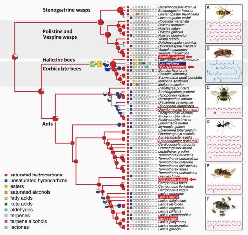 """""""Ilustracja 2 Ewolucyjna historia królowej i sygnałów płodności w głównych kladach społecznych owadów błonkoskrzydłych. Każdy naprzemiennie pokolorowany klad wskazuje na niezależne pochodzenie eusocjalności. Diagramy kołowe pokazują prawdopodobieństwo użycia różnych klas związków chemicznych jako sygnałów królowej czyli sygnałów płodności. (…). Spośród wszystkich związków węglowodory nasycone (liniowe i metylo-rozgałęzione alkany są najczęściej wskazywane jako konserwatywne sygnały królowej lub płodności w kilku grupach owadów eusocjalnych, które wyewoluowały niezależnie od siebie."""