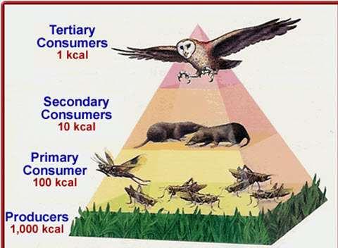 Piramida troficzna.