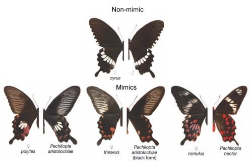Wszystkie lewe połowy to samice Papilio polytes. Prawe połowy to albo samce P. polytes (na górze), albo różne gatunki paziowatych (na dole). Zaadaptowane z Kunte et al, 2014.