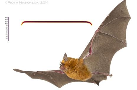 Pomarańczowy nietoperz Rhinolophus landeri z Gorongosa i sonogram jego echolokacji.