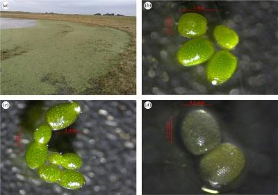 <span>(Z artykułu): (a) Moczary, gdzie zebrano odchody</span>D. viduata<span>i</span>W. columbiana<span>. (b) Nienaruszone roślinki wydobyte z odchodów o zdrowym wyglądzie (jasno zielony kolor i całe). (c) Siedem roślinek obserwowanych po 7 dniach eksperymentu, potwierdzając rozmnażanie bezpłciowe. (d) Rośliny, które zmarły podczas eksperymentu, straciły barwę.</span>