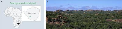 (Wszystkie podpisy z artykułu): A) Lokalizacja w parku narodowym Matopos w Zimbabwe. (B) Widok parku pokazujący rozległą pokrywę leśną z drzew mopane z formacjami skalnymi. Zdjęcie: M. Stensmyr.
