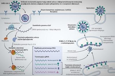 Replikacja wirusa SARS-CoV-2, Wikipedia (https://pl.wikipedia.org/wiki/Plik:Replikacja_wirusa_SARS-CoV-2_pl.jpg)