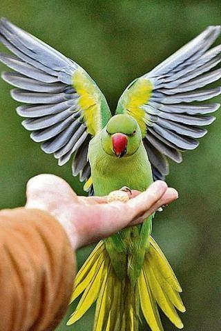 Papużki aleksandretty są powszechne w Londynie i przyzwyczajone do kontaktów z ludźmi ALAMY