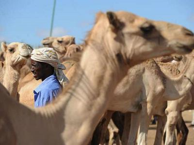 Farmer przybywa ze stadem wielbłądów, by znaleźć kupca na rynku Sayladah w Hargeisa, Somaliland, 29 października 2012 r.Simon Maina/AFP/Getty Images
