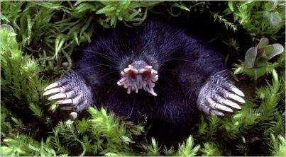 Gwiazdonos (Condylura cristata); zdjęcie Gary Meszaros/Photo Researchers
