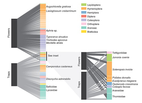 (From the paper): Figure 2: Quantitative network illustrating the extent of overlap between Dionaea muscipula prey and flower visitors. Only flower visitors that carried pollen are shown. In each network, block heights in the left bar represent the relative sample sizes of arthropods from flowers and traps; block heights in the right bar represent relative abundance of each taxon in the combined sample from traps and flowers. Taxa shared between traps and flowers are connected both to traps (light gray connections) and to flowers (dark gray connections); shared taxa are expanded in the inset. Data underlying the figure are deposited in the Dryad Digital Repository: http://dx.doi.org/10.5061/dryad.p8s64 (Youngsteadt et al. 2017).