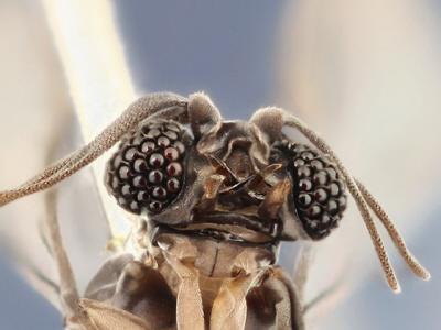 Samiec wachlarzoskrzydły, zdjęcie Mike Hrabar.