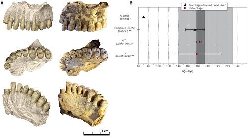(A) Lateral, occlusal, and oblique views of the hemimaxilla from Misliya Cave. Left: The virtual reconstruction; all adhering matrix was removed using virtual techniques. The enamel caps of the teeth were removed to show the dentine surfaces (which were analyzed through landmark-based methods); right: the original specimen. (B) Overview of the dating results obtained at Misliya Cave. All ages are given at a 2σ confidence level. Key: (*) The U-series age on dentine and calcitic crust on the maxilla should be considered as a minimum age estimate for Misliya-1; (**) the combined US-ESR age should be regarded as a maximum age estimate for Misliya-1; (***) average TL date based on nine samples of burnt flint obtained from nearby squares (N12, L10; see Fig. 1). Dark gray: Age range for Misliya-1, based on dates obtained from the fossil (U-Th provides the minimum age and combined US-ESR the maximum age), is between 177 ky (=185 – 8 ky) to 194 ky (=174 + 20 ky). Light gray: Age range for the EMP period in the Levant (250 to 140 ky) based on the combination of TL dates obtained for Tabun Cave, Hayonim Cave, and Misliya Cave.