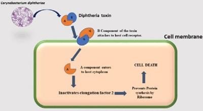 <span>Mechanizm działania toksyny błoniczej; CC-BY;</span>https://www.peertechz.com/articles/pathogenesis-of-corynebacterium-diphtheriae-and-available-vaccines-an-overview.pdf