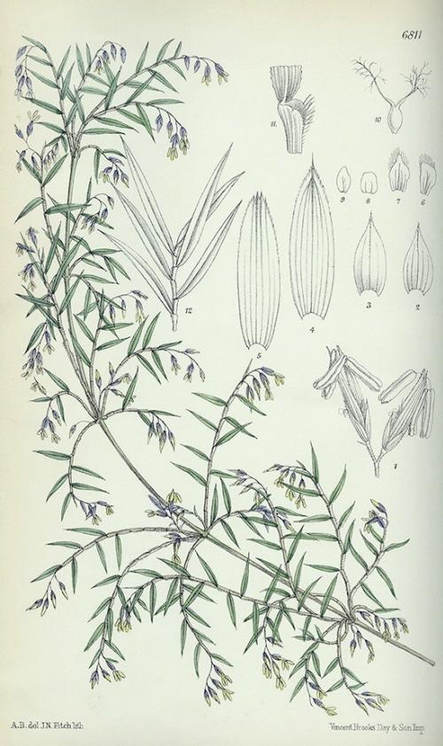 Ilustracja z 1885 r. pokazująca Chusquea abietifolia, z cyklem kwitnienia 32 lat. Gray Herbarium Library, Harvard University Herbaria