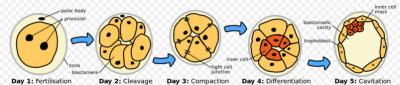 Początki rozwoju zarodkowego; Zephirys, Wikipedia, CC BY-SA 3.0; https://en.wikipedia.org/wiki/Human_embryogenesis#/media/File:HumanEmbryogenesis.svg
