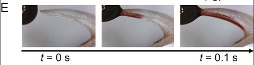 (Z artykułu): (F) Przebieg zasysania czerwonego płynu w kocią brodawkę (czarny kwadrat) i dwie tygrysie brodawki (lite i otwarte trójkąty).