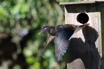 Samica zlatuje na ziemię, by wreszcie wywołać kaczęta.