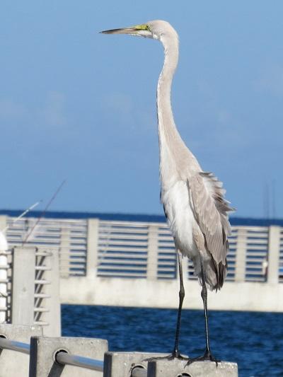 <span>Hybryda czapli modrej i czapli białej, Fort de Soto Park, Pinellas County (Florida, USA), 17 sierpnia 2016 – copyright Dave Norgate (photo ID: 2976)</span>
