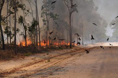 Kanie czarne szybujące wokół ognia, który, jak sugerują obserwacje, mogły podłożyć same. Zdjęcie: BOB GOSFORD